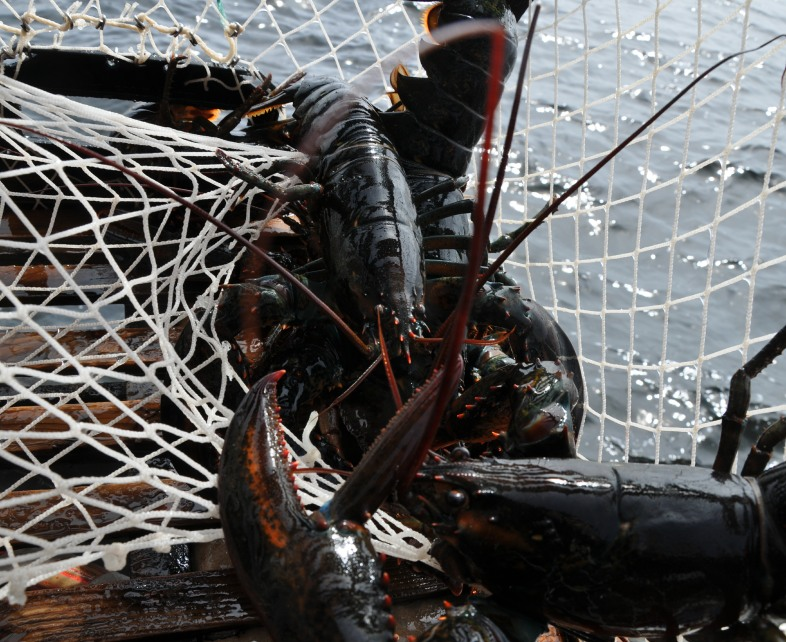 ri-smith-lobster-nova-scotia-lobster-caught-in-trap-1