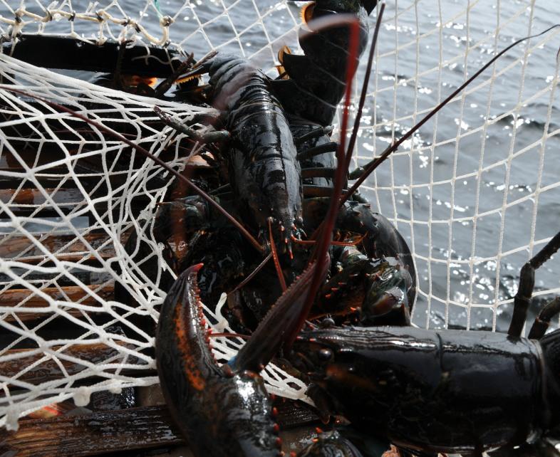 ri-smith-lobster-nova-scotia-lobster-caught-in-trap-1