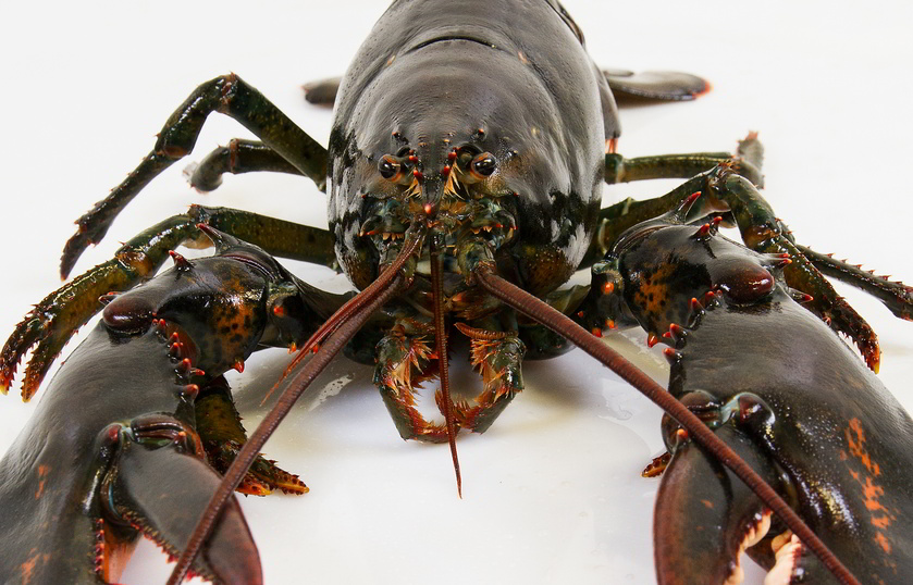 ri-smith-lobster-nova-scotia-lobster-up-close-3