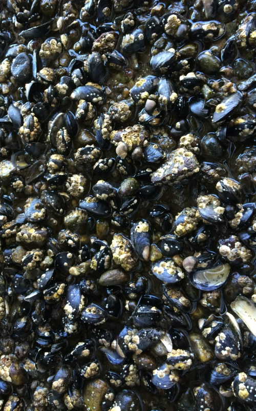 ri-smith-lobster-nova-scotia-mussels-growing-naturally-in-our-lobster-pound-1